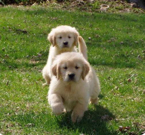 Regalo Cuccioli Di Golden Retriever Maschio E Femmina Per Adozione