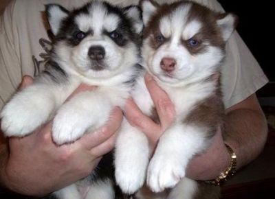 Disponibili Bellissimi Cuccioli Di Siberian Husky Annunci Sassari