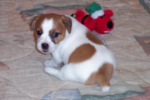 Regalo affettuoso cuccioli di jack russell disponibili for Regalo annunci