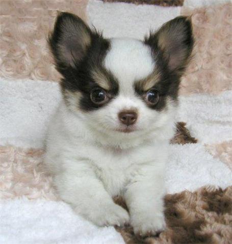 Disponibili splendidi cuccioli di chihuahua per regalo for Regalo annunci