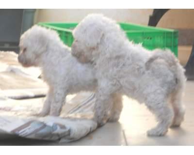 Regalo Cucciolo Di Razza Barboncino Nano Colore Bianco Annunci