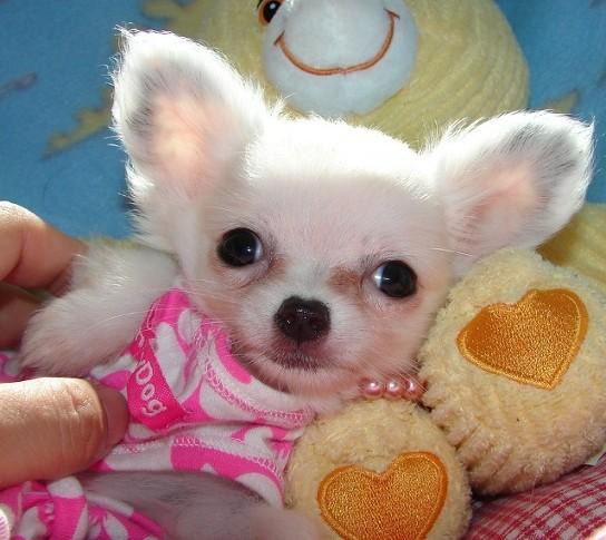 Regalo cuccioli chihuahua annunci agrigento animali 5619 for Regalo annunci