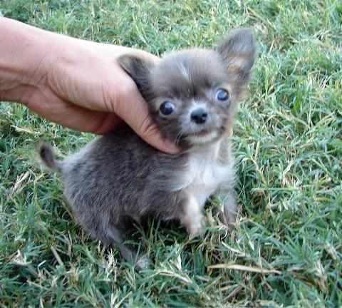 Regalo cuccioli chihuahua toy piccolissima tutti i colori for Regalo annunci