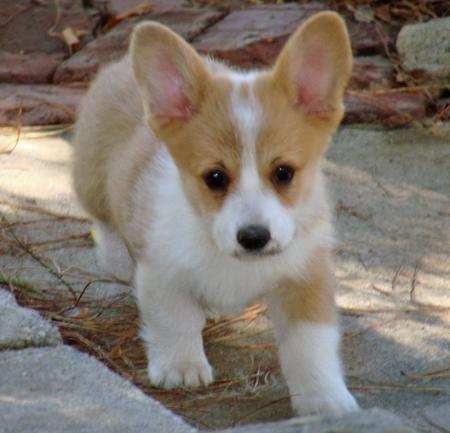 Regalo cucciolo di razza welsh corgi pembroke annunci for Regalo offro gratis