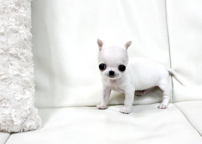 Pura Razza Chihuahua Cuccioli Disponibili Annunci Bergamo