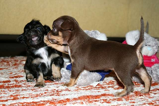 Regalo cuccioli di chihuahua toy annunci ancona for Sito annunci regalo