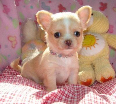Vaccinati chihuahua cuccioli toy per regalo annunci for Regalo offro gratis