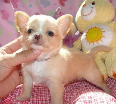 Vaccinati chihuahua cuccioli toy per regalo annunci for Regalo a chi