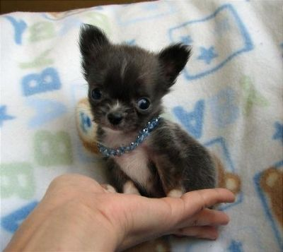 Chihuahua Pelo Lungo Toy In Regalo Cosè Il Certificato Di Proprietà