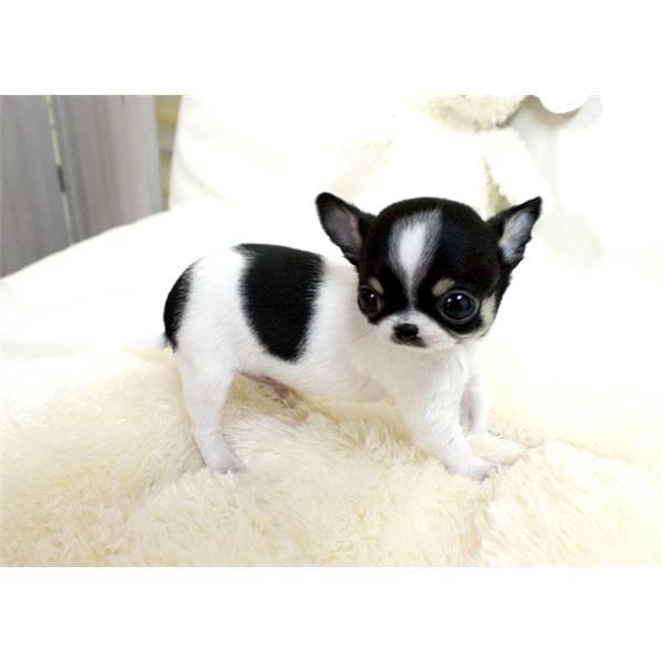 Regalo cuccioli di chihuahua mini toy pronti per una casa for Regalo a chi