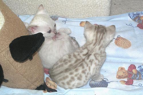 Offro in regalo bengala gattini annunci carbonia for Regalo annunci