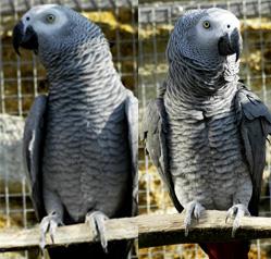 Regalo di pappagalli bella in cerca di un paio di buon for Sito annunci regalo