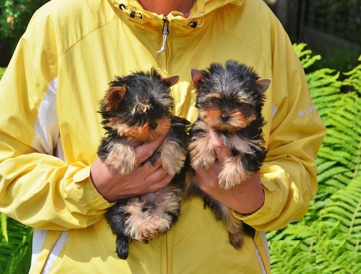 Regalo meravigliosi yorkshire terrier toy annunci roma for Regalo offro gratis