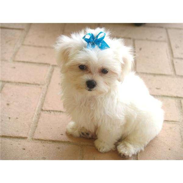 Cuccioli maltesi in regalo annunci agrigento animali for Regalo annunci