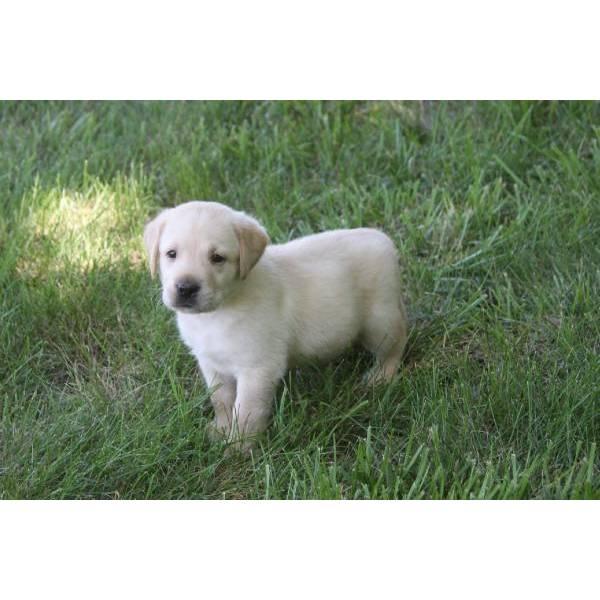 Regalo Cuccioli Labrador Retriever Miele E Nero Con Pedigree