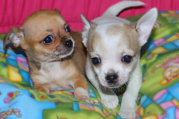 Regalo akc registrato cuccioli di chihuahua disponibili for Regalo annunci