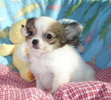 Regalo cuccioli chihuahua mini toy bari annunci brindisi for Sito annunci regalo