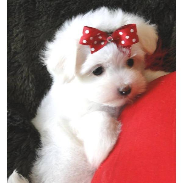 Regalo bellissimi e adorabile cuccioli di maltese toy for Regalo annunci