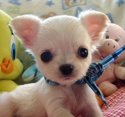 Cuccioli di chihuahua per regalo annunci asti animali for Regalo annunci