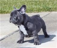 Bulldog Francese Annunci Milano Animali 7395