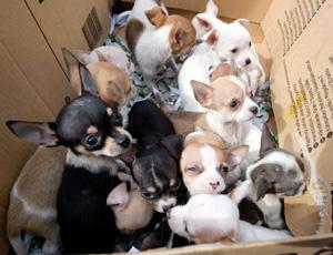 Regalo cuccioli di chihuahua annunci bolzano animali for Sito annunci regalo