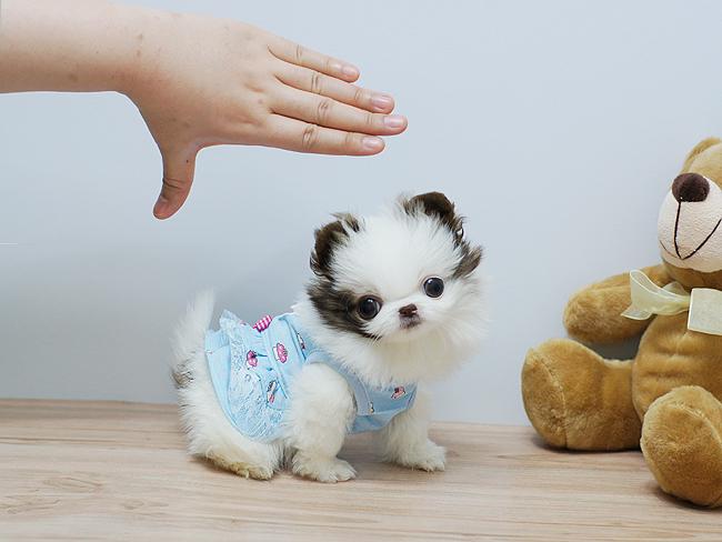 Carino e adorabile bambino pomerania per l 39 adozione for Regalo offro gratis
