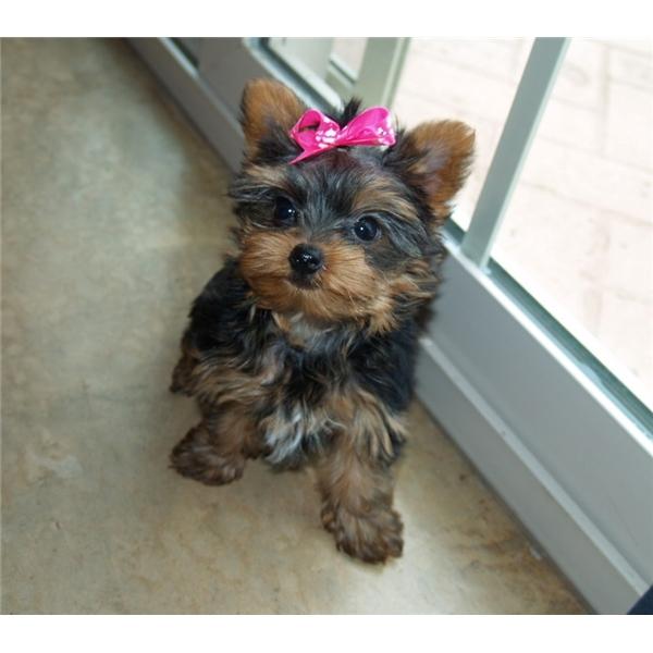 Regalo cuccioli di yorkshire terrier mini annunci napoli for Regalo annunci