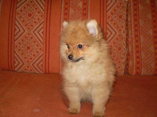 Vendiamo splendido cucciolo di Volpino Spitz Nano Pomerania Maschio ...