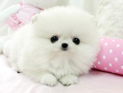 Regalo cuccioli di volpino di pomerania extra mini toy for Regalo annunci
