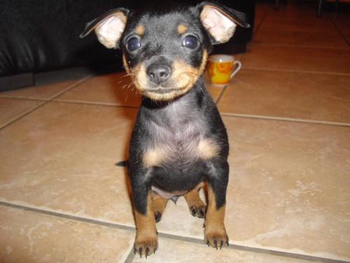 Pinscher toy maschio disponibili annunci enna animali for Pincher cucciolo