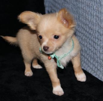 Cuccioli Di Chihuahua Pelo Lungo Annunci Napoli Animali 6111