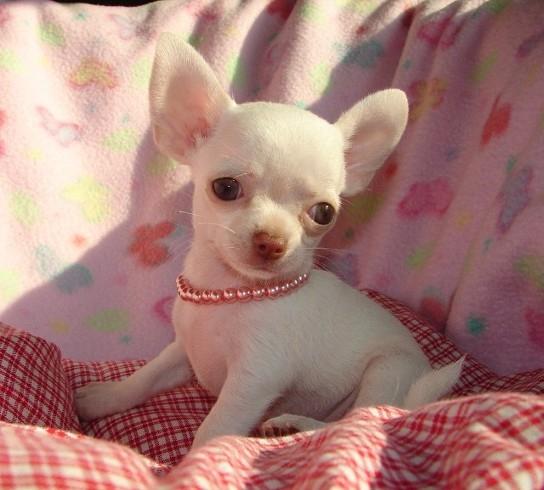 Regalo di 3 mesi chihuahua cuccioli toy per adozione 2 quotes for Regalo a chi