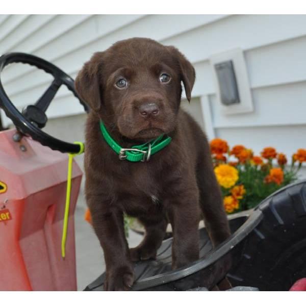Disponibile regalo cuccioli di labrador maschietti e for Regalo annunci