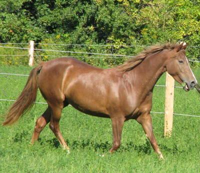 Morgan cavallo per l 39 adozione annunci asti animali 9675 for Regalo offro gratis