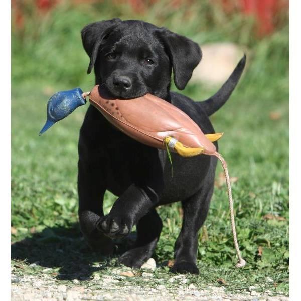 Regalo Cuccioli Di Labrador Maschile E Femminile Annunci