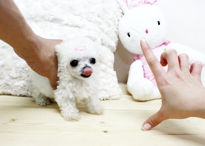 Cuccioli di barboncino annunci bologna animali 13751 for Nomi per cani maschi taglia piccola