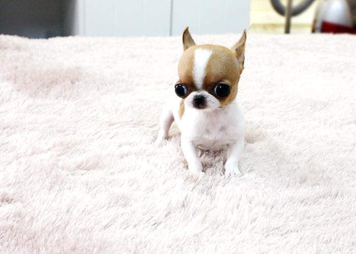Toy Maschio 3 Mesi Animali In Vendita A Napoli   Dog Breeds Picture